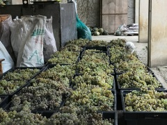 Grapes waiting to be pressed at Baia's Wine in Village Obcha Meore, Imereti Region